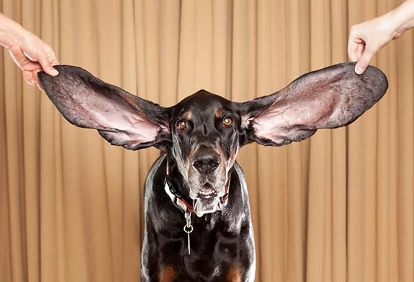 Собакам с висячими ушами чистка требуется чаще