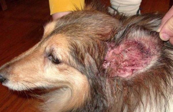 Отодектоз или ушная чесотка у собаки