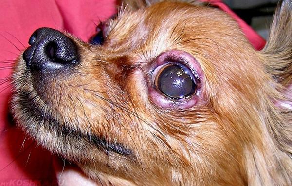 Блефарит у собаки с воспалением