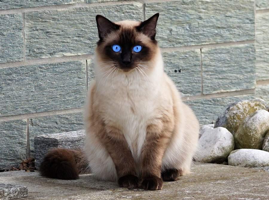 Балинезийская порода – разновидность сиамской кошки