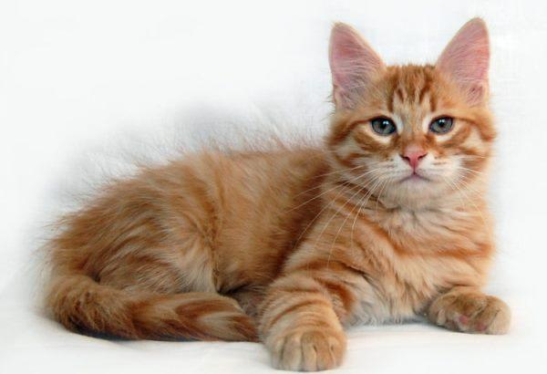Сибирские коты отличаются большими размерами