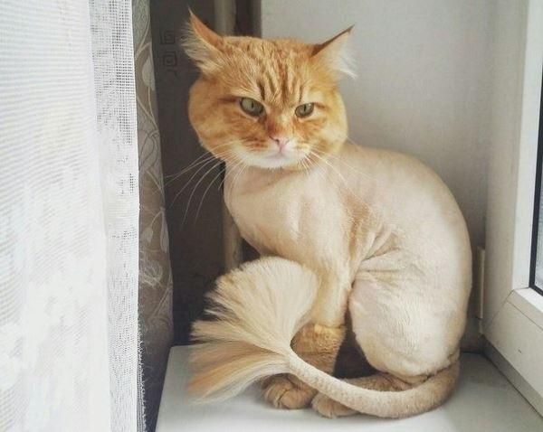 Стрижка Лев хорошо подходит для рыжих котов