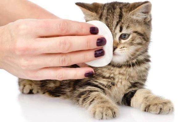 Протирать глаза котенку нужно при наличии воспаления