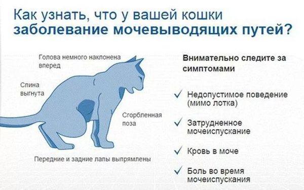 Симптомы цистита у кошки