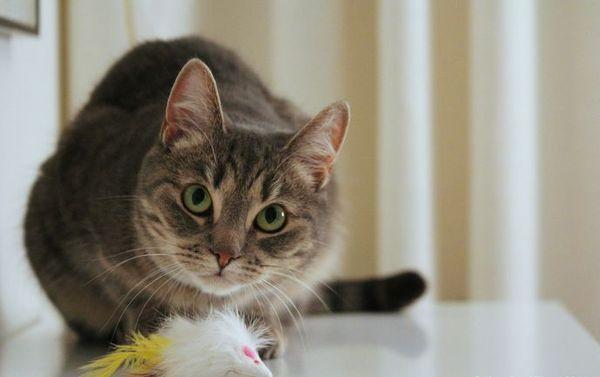 Европейская гладкошерстная кошка обладает спокойным характером