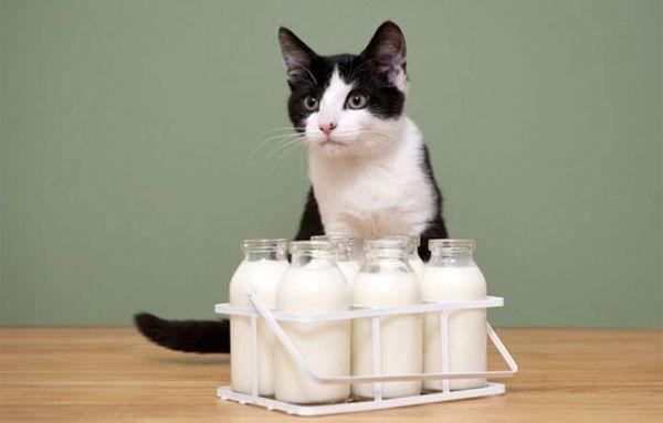 Козье молоко содержит меньше лактозы