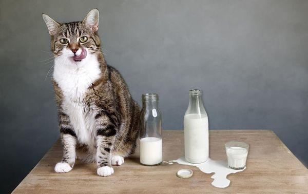 Нельзя кормить кошку сладкими молочными продуктами