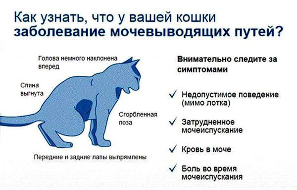 Симптомы мочекаменной болезни у кошки