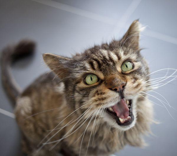Кошка мяукает, когда что-то хочет