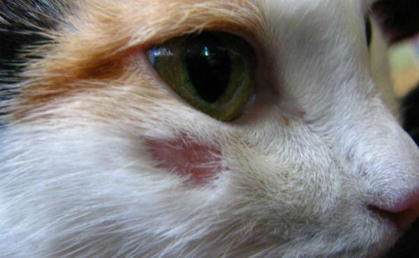 С выпадением шерсти у кошек нужно нужно быстро бороться