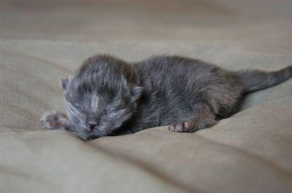 Кошка может бросить потомство из-за слабого материнского инстинкта