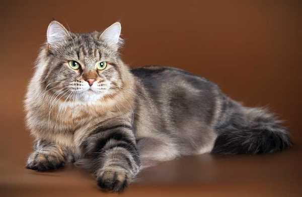Предком сибирской кошки является манул