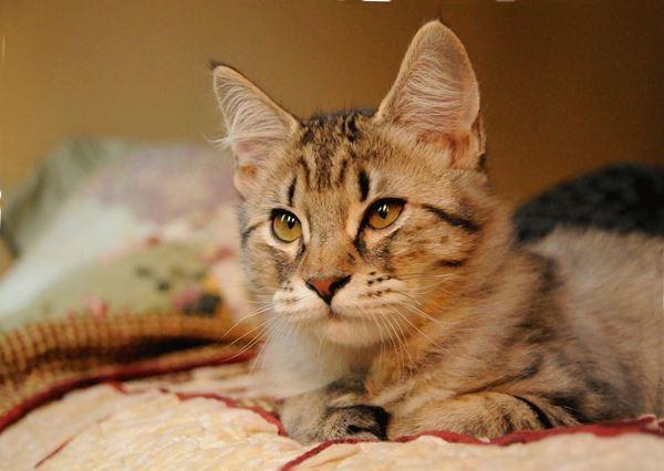 Кошки с кисточками на ушах считаются одними из самых востребованных