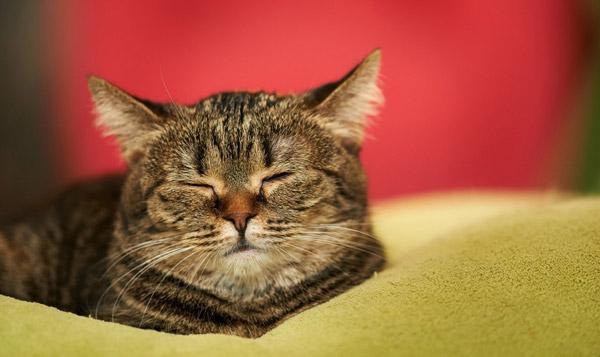 После кастрации кот становится спокойным и менее активным