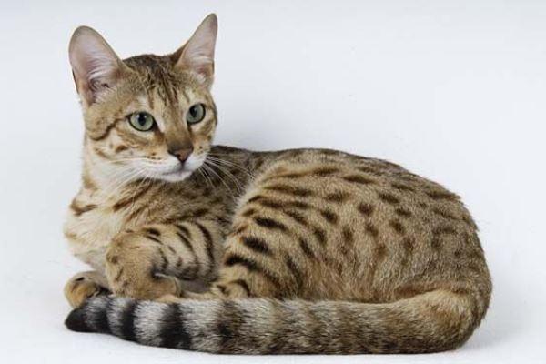 Серенгети – гибрид домашней и дикой кошки