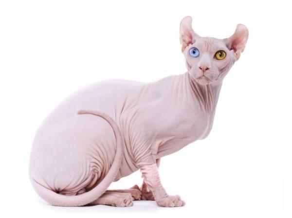 Кошки породы эльф имеют необычные уши
