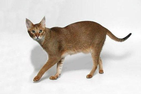 Кошка шаузи игривая, подвижная и любознательная