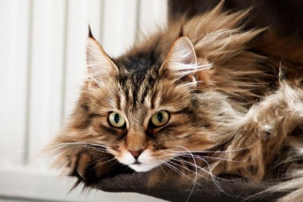 Норвежская лесная кошка легко поддается дрессировке и отлично ладит с детьми