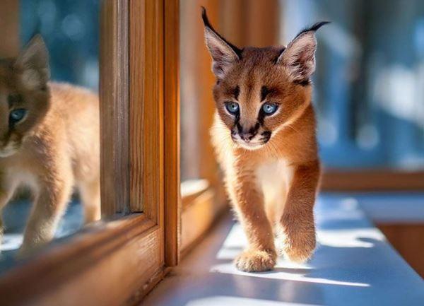 Кошки породы каракал ведут ночной образ жизни