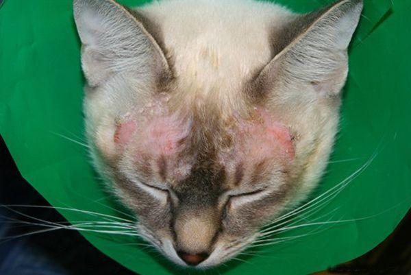 Экзема у кошек – дерматологическое воспалительное заболевание