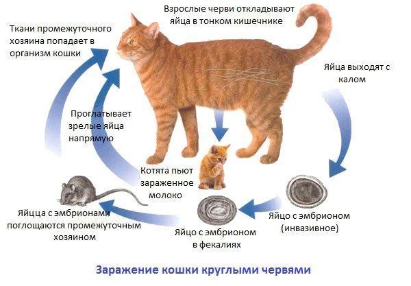 Как кошки заражаются гельминтами