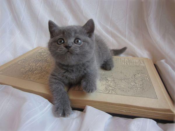 Серые коты выглядят представительно и даже аристократично
