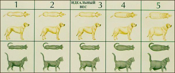Как выглядит собака и кошка с признаками ожирения