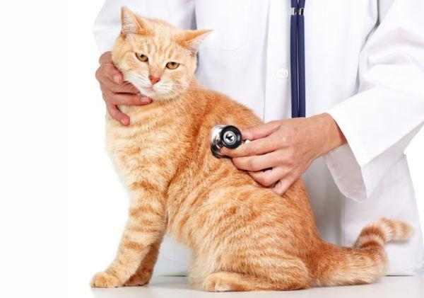 Для диагностики необходимо привезти мочу кота к ветеринару