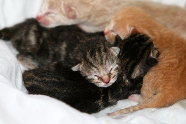 Кошка может съесть неполноценно развитых котят