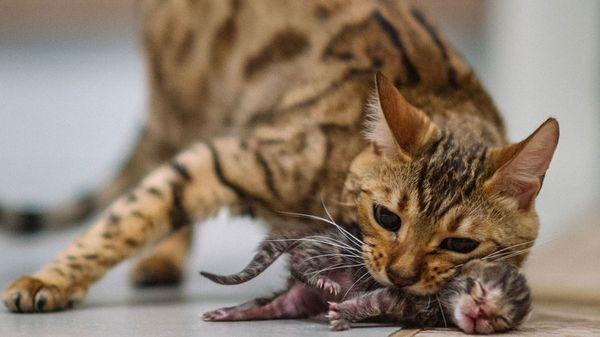 Питомец может съесть котенка из-за стресса при родах