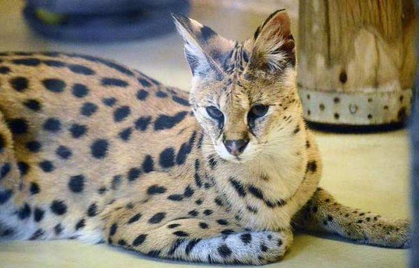 Кошка сервал – самая редкая в мире
