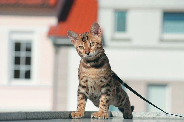 Выгуливать кошку без ошейника и шлейки очень трудно
