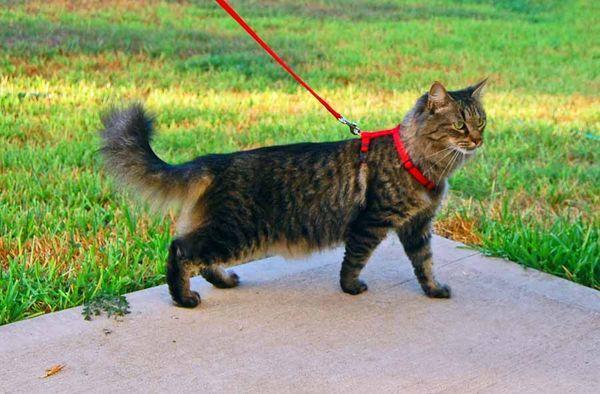 Кот с шлейкой для выгула