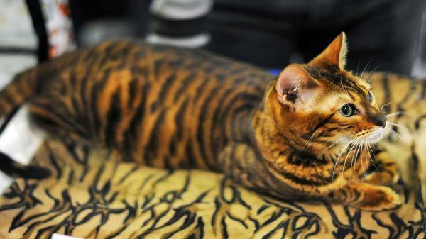 Коты породы тойгер очень общительны