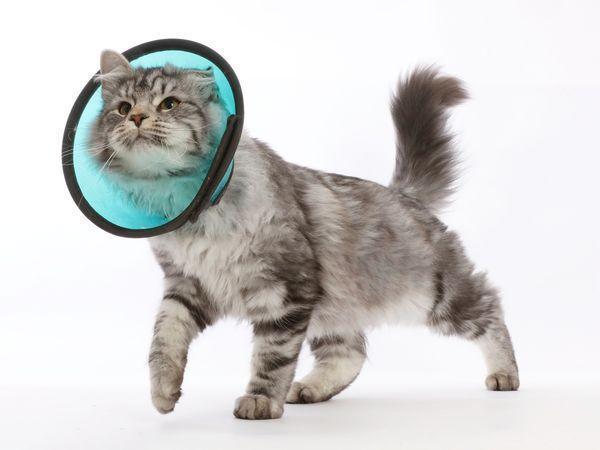 Воротник не дает кошке вылизывать раны
