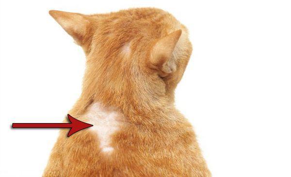 Проявление внешней аллергии у кошки