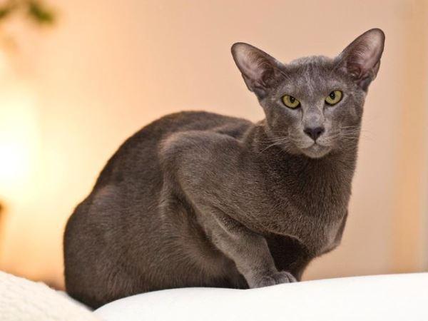 Кошки породы ориентал пользуются большой популярностью