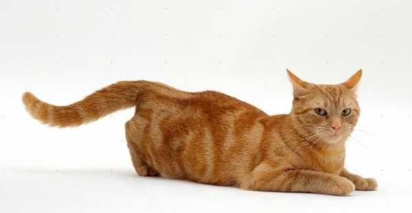 Репродуктивный цикл кошек разделен на несколько частей