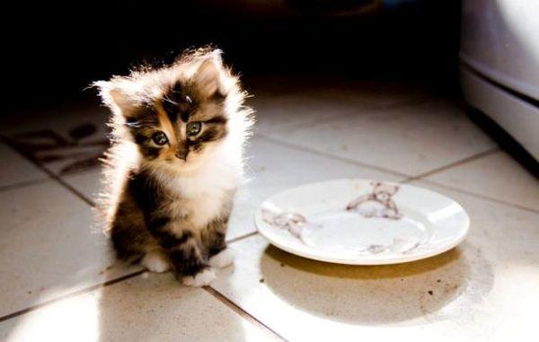 Котенка запрещено кормить жирным