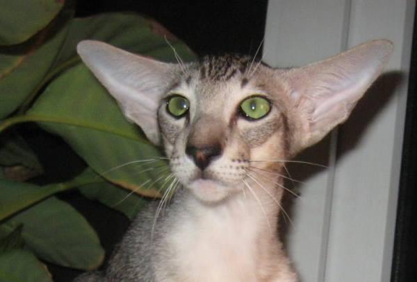 Лидерство по самым большим ушам среди всех пород кошек принадлежит кошкам восточных пород