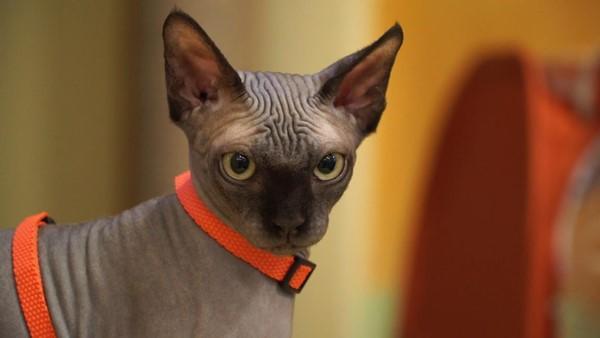 Умные, ненадоедливые кошки обладают ласковым характером