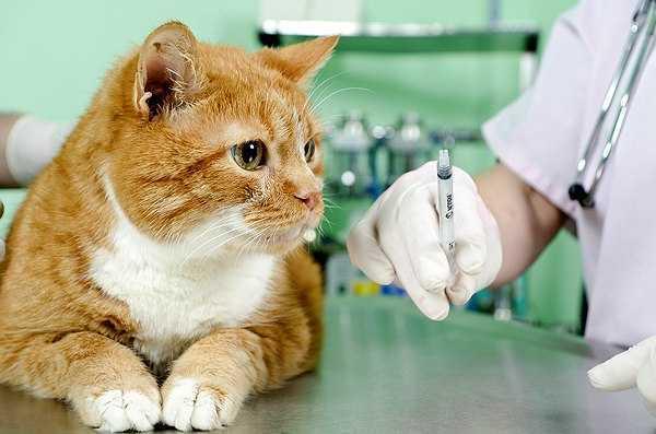 Необходимо отвезти кошку в ветеринарную лечебницу и показать ее ветеринару