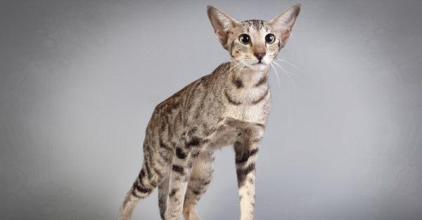 Ориентальные кошки имеют вытянутую морду и большие уши