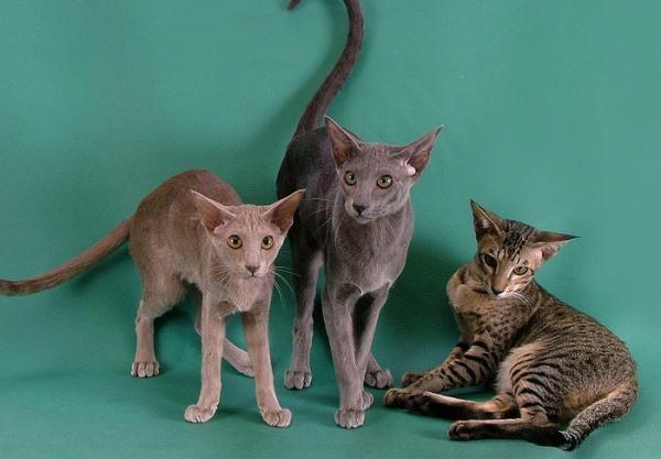 Кошки породы ориентал могут иметь разные окрасы
