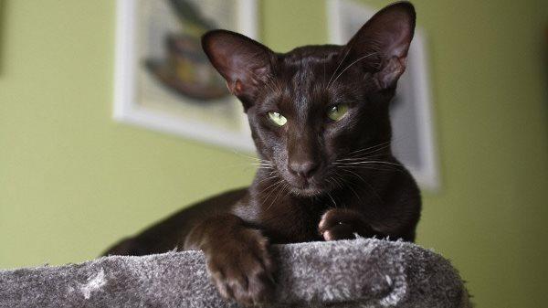 Ориентальные кошки лазят по всем поверхностям, которые есть в доме