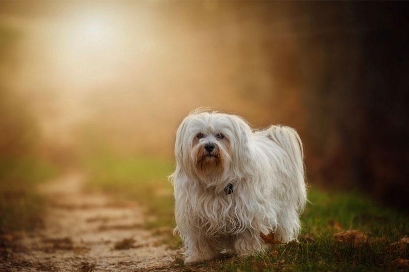 Гаванские бишоны – собачка очень подвижная, веселая, неагрессивная