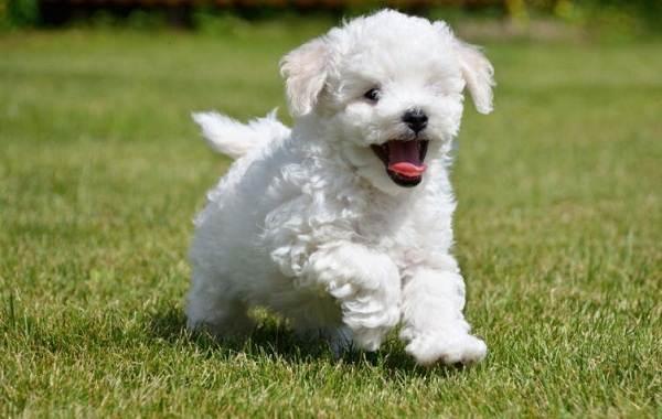 Общительная, игривая собака бишон фризе