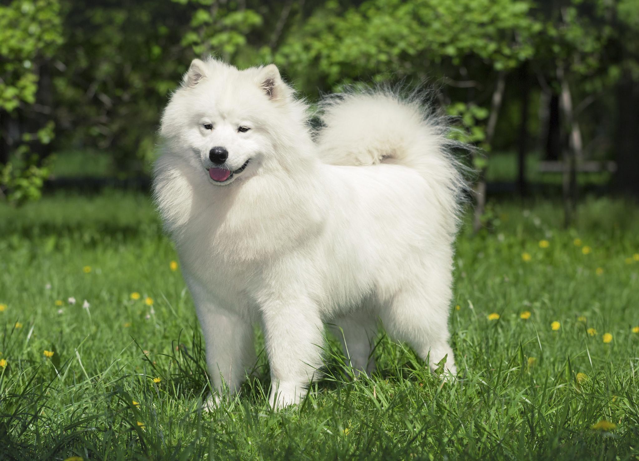 Самоедская собака обладает густой снежно-белой шерстью