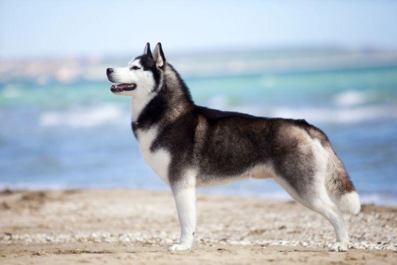 Сибирский хаски – самая красивая северная порода