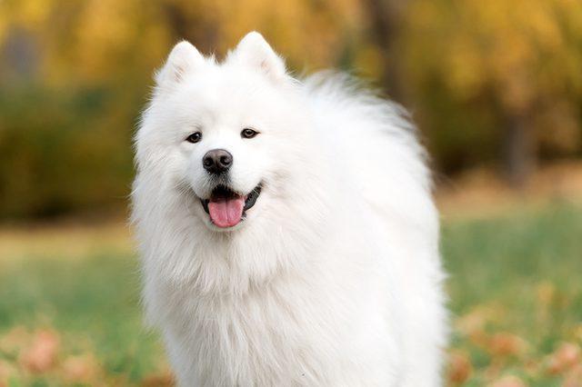Американская эскимосская собака имеет длинную белоснежную шерсть